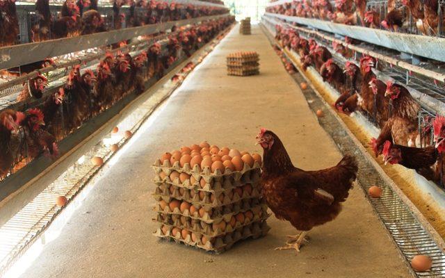 Cara Ternak Ayam Petelur Mudah untuk Pemula