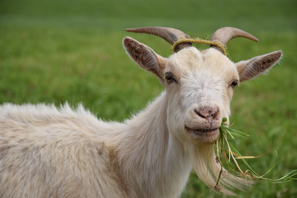 cara ternak kambing tanpa ngarit