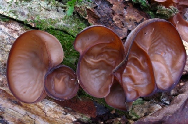 Kandungan nutrisi dan manfaat jamur kuping