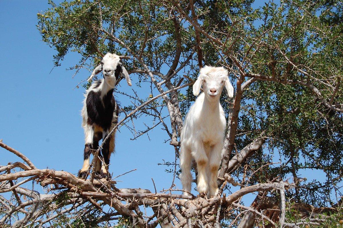 cara ternak kambing