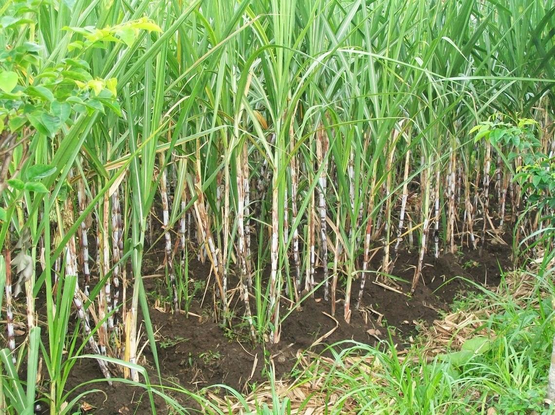 cara menanam tebu yang benar