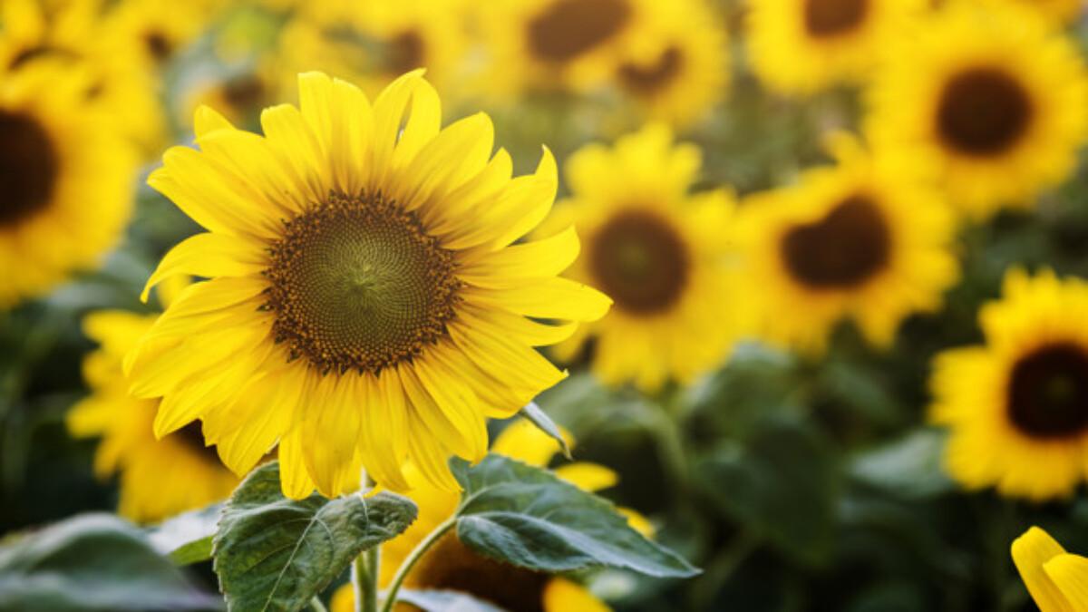 cara memelihara bunga matahari