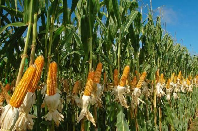 menanam jagung manis