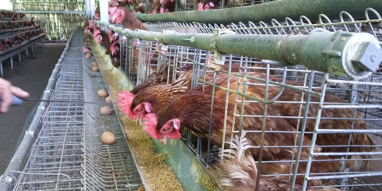 peluang usaha ayam petelur