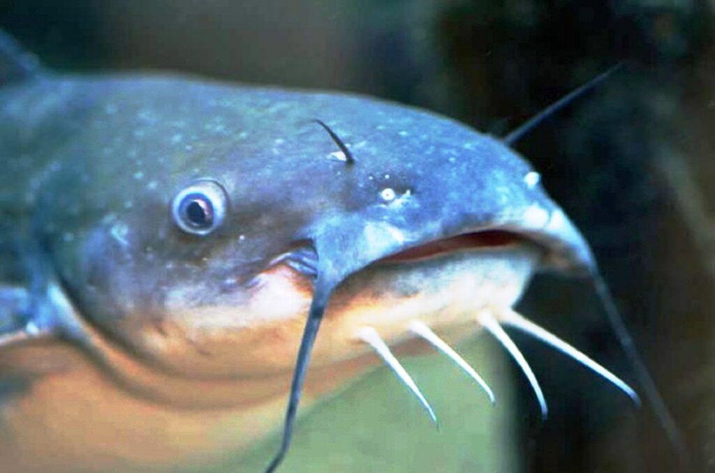 Nutrisi Ikan Lele Liar Lebih Banyak Dibanding Lele Budidaya